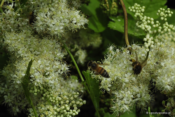 Filipendula ulmaria, wiązówka błotna