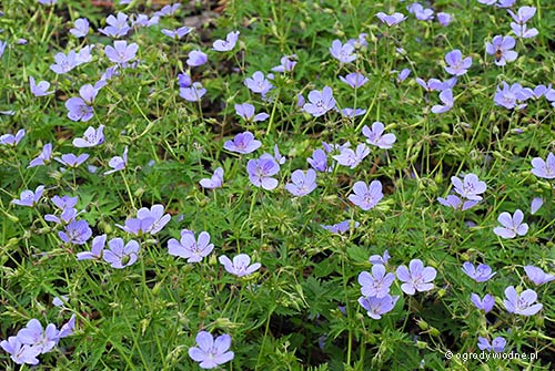 "Geranium ""Blue Cloud"", bodziszek"