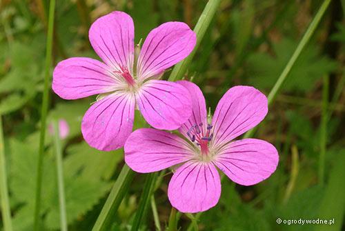 Geranium palustre, bodziszek błotny