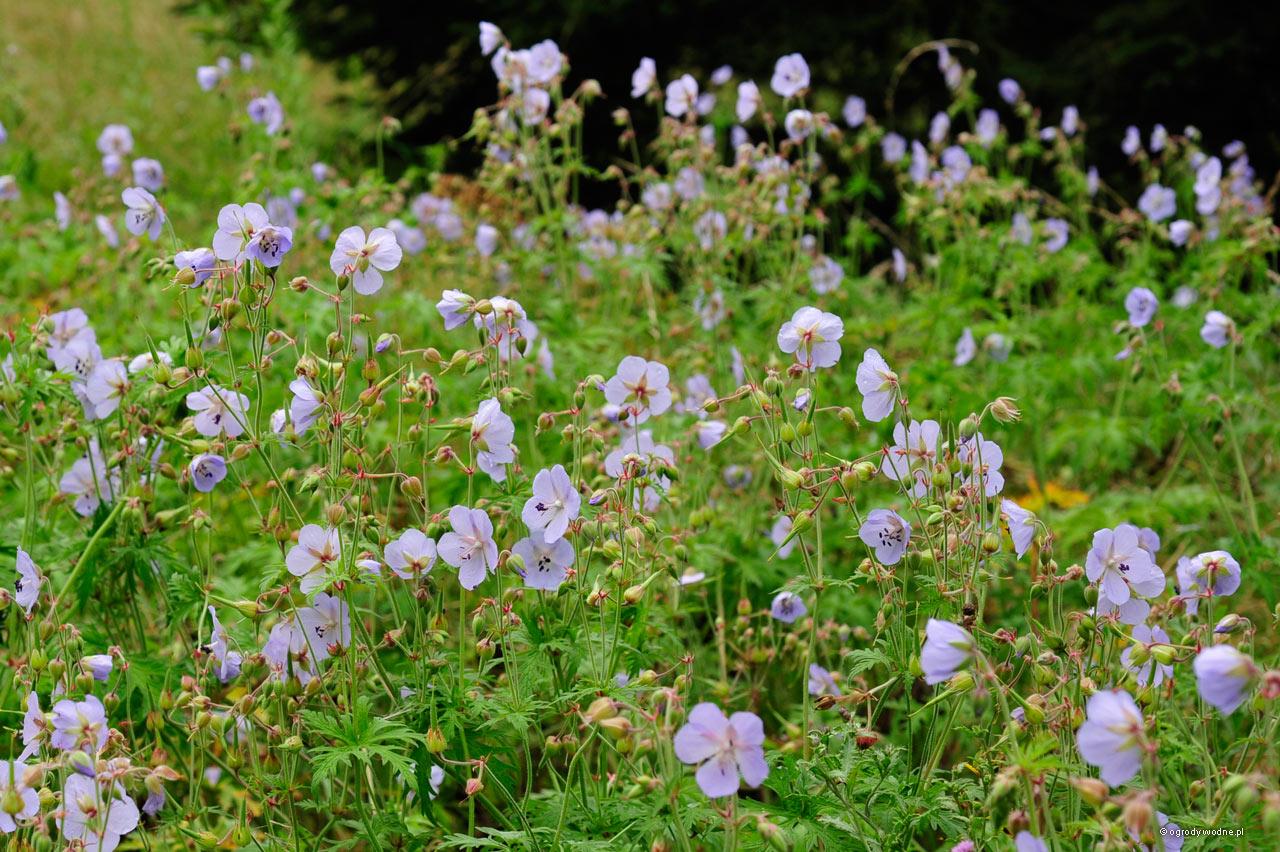 Geranium pratense, bodziszek łąkowy