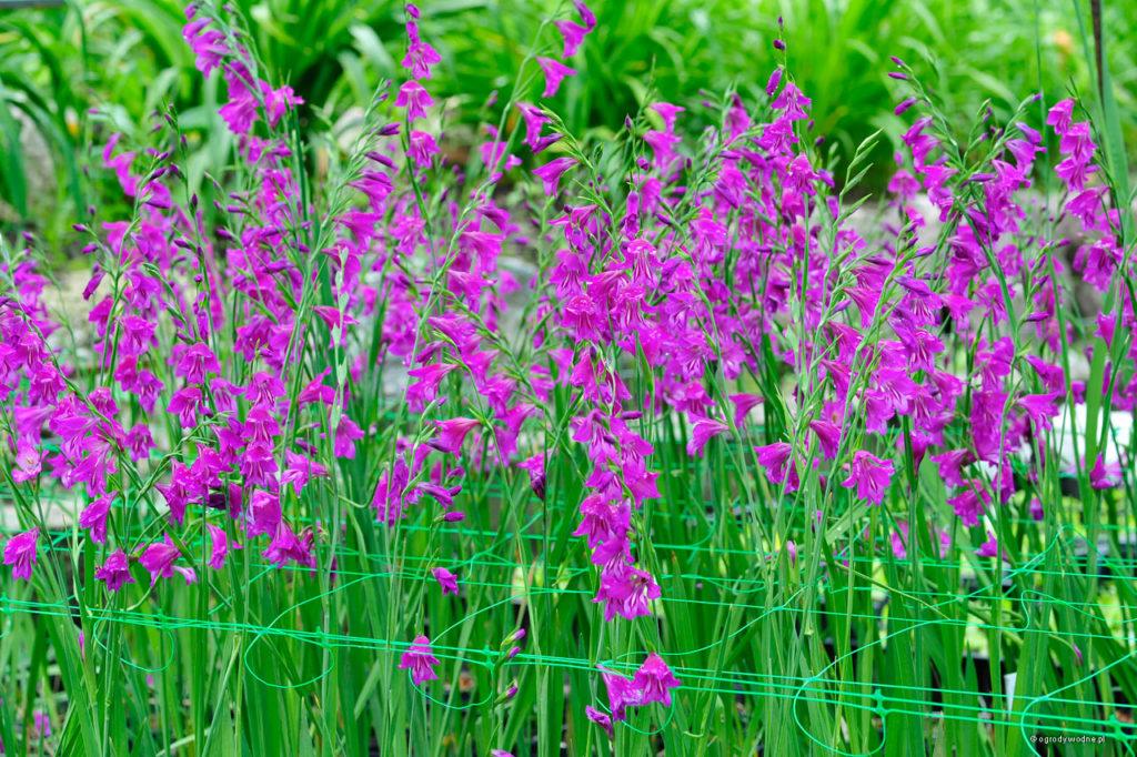 Gladiolus palustris, mieczyk błotny