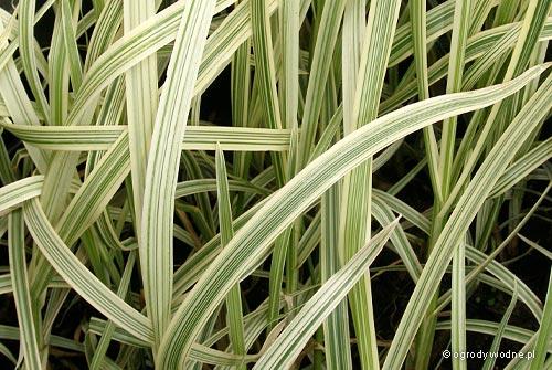 "Glyceria maxima ""Variegata"", manna mielec pstrolistna"