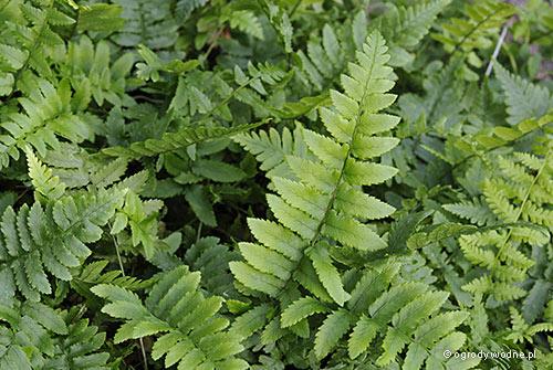 Gymnocarpium oyamense, cienistka