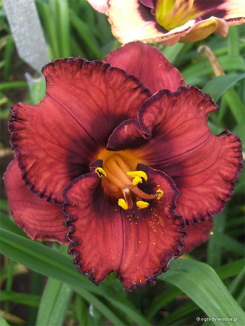 "Hemerocallis ""Berrylicious"", liliowiec"