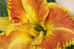 "Hemerocallis ""Beyond Riches"""
