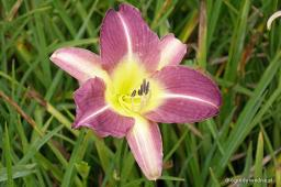 "Hemerocallis ""Bill Sharmon"""
