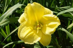 "Hemerocallis ""Burnished Ruffles"""