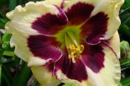 "Hemerocallis ""Celebration of Angels"""