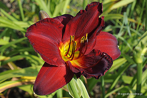 "Hemerocallis ""Chicago Bronze"", liliowiec"