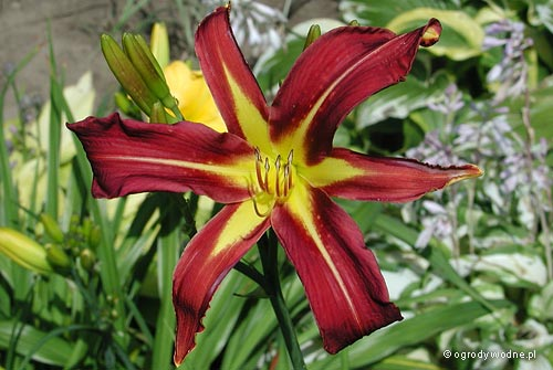 "Hemerocallis ""Dark Star"", liliowiec"