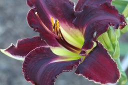 "Hemerocallis ""Darker Shade"""