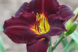 "Hemerocallis ""Darling"""