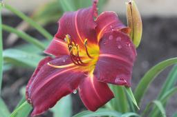 "Hemerocallis ""Dragon Lore"""