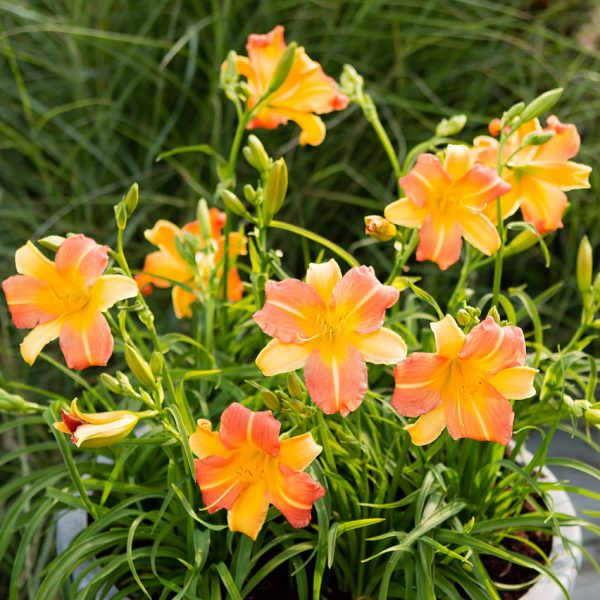 "Hemerocallis ""EveryDaylily Punch Yellow"", liliowiec"