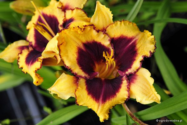 "Hemerocallis ""Eye on America"", liliowiec"