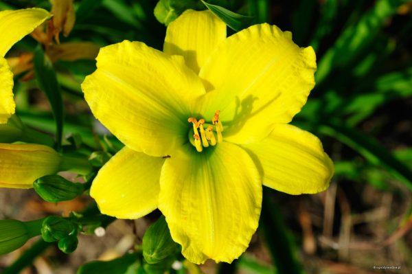 """Hemerocallis """"Green Flutter"""" - liliowiec"""