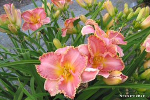 "Hemerocallis ""Heavenly Pink Fang"", liliowiec"