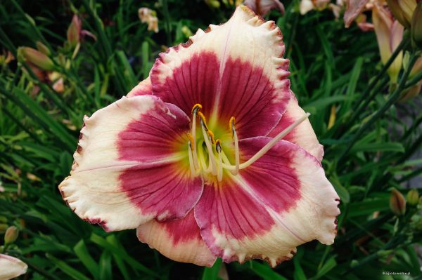 "Hemerocallis ""Hello Screamer"", liliowiec"