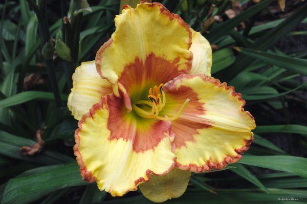 "Hemerocallis ""Irresistible Charm"", liliowiec"