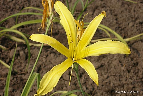 "Hemerocallis ""Kindly Light"", liliowiec"