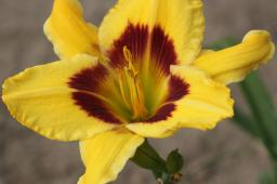 "Hemerocallis ""King George"""