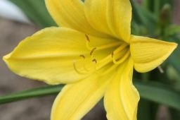 "Hemerocallis ""Lemon Bells"""