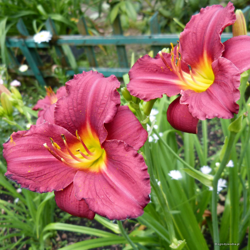 "Hemerocallis ""Little Business"""