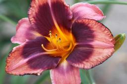 "Hemerocallis ""Mask of Time"""