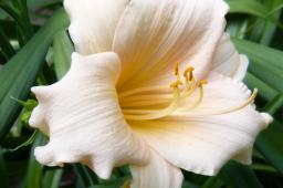 "Hemerocallis ""Mini Pearl"""