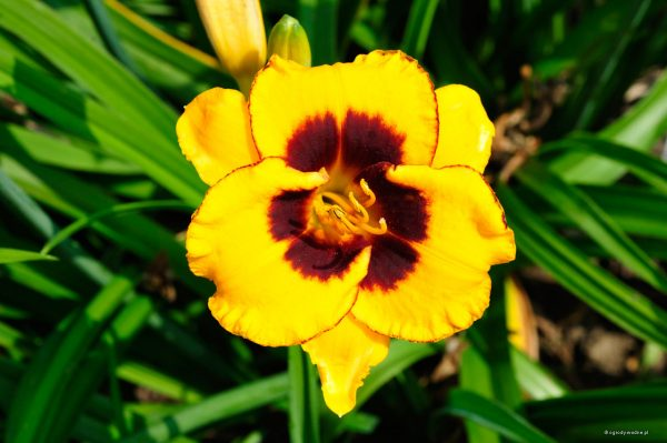 "Hemerocallis ""Now and Zen"" - liliowie"