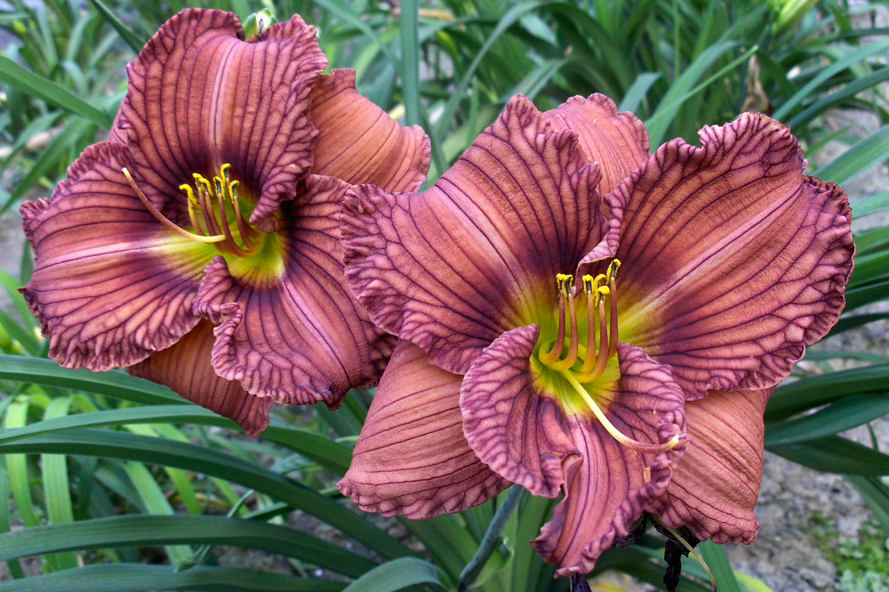 "Hemerocallis ""Nowhere to Hide"", liliowiec"