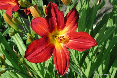 "Hemerocallis ""Pillar of Fire"", liliowiec"