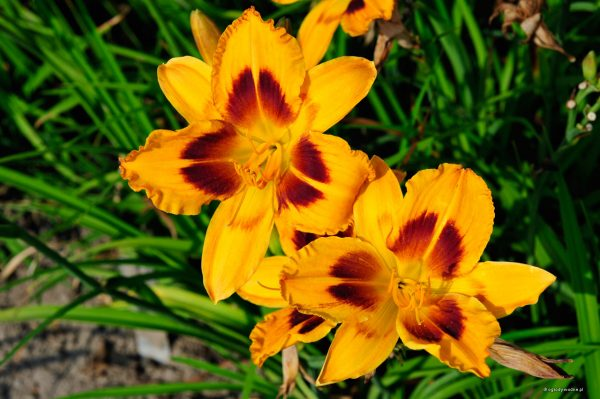 "Hemerocallis ""Radiant Greetings"", liliowiec"