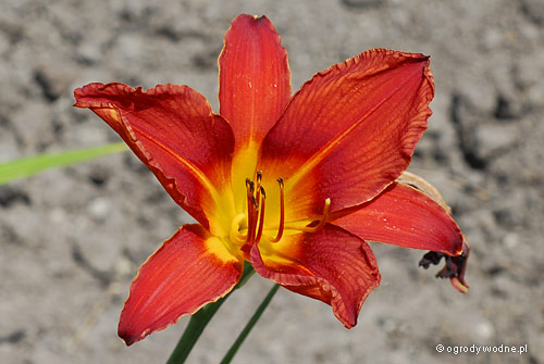 "Hemerocallis ""Rebel Cause"", liliowiec"