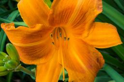 "Hemerocallis ""Rocket City"""
