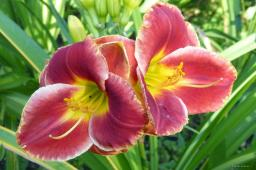 "Hemerocallis ""Roses in Snow"""