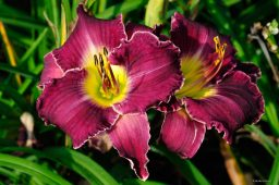"Hemerocallis ""Salem Witch"""