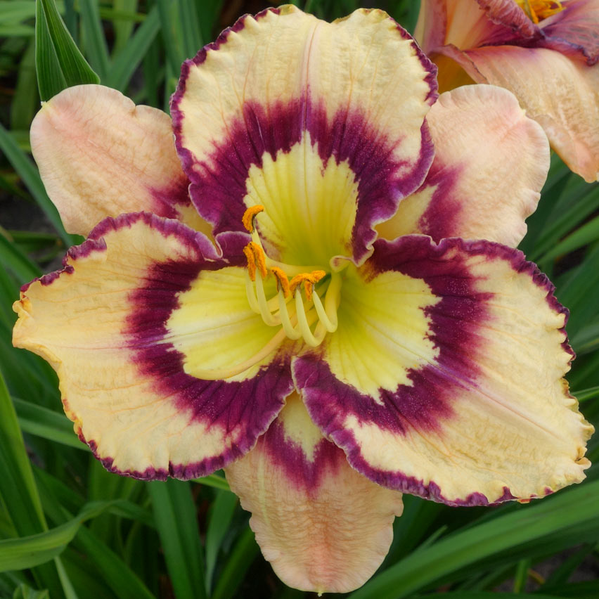 "Hemerocallis ""Spacecoast Sea Shells"". liliowiec"