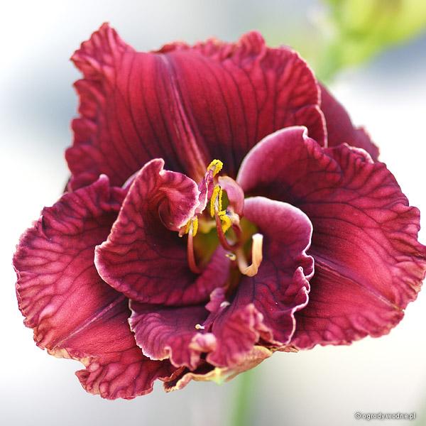 "Hemerocallis ""Stellar Double Rose"", liliowiec"