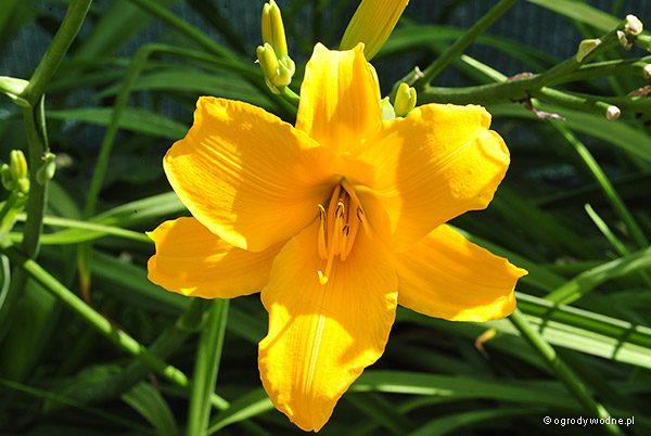 """Hemerocallis """"Syrena"""", liliowiec"""