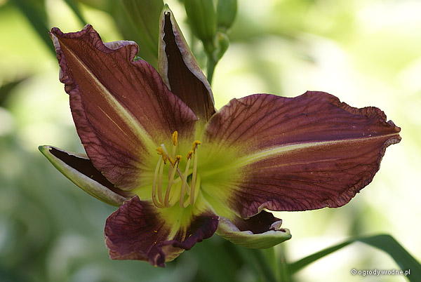 "Hemerocallis ""Watchyl Wild Indian"", liliowiec"