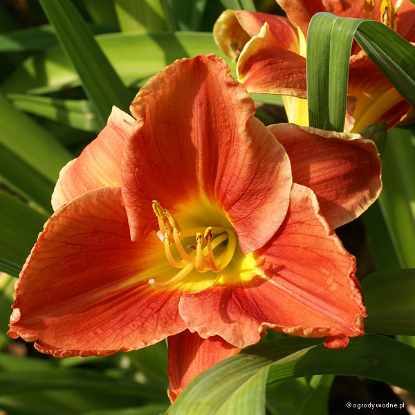 "Hemerocallis ""Watermelon Slice"", liliowiec"