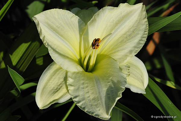 "Hemerocallis ""White Temptation"", liliowiec"
