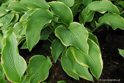 "Hosta ""Abba Dabba Do"""
