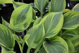 "Hosta ""Alex Summers"""