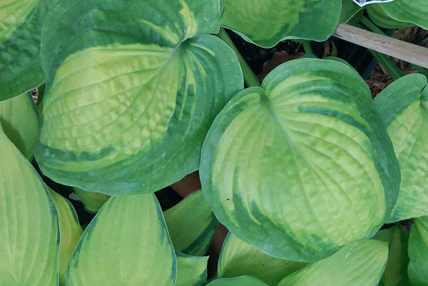 "Hosta ""Alligator Alley"", funkia"
