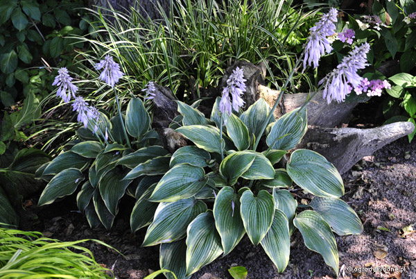 "Hosta ""Alligator Shoes"", funkia"