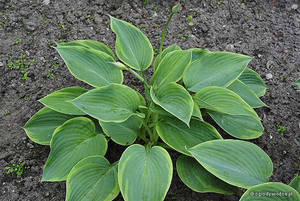 "Hosta ""Alvatine Taylor"", funkia"