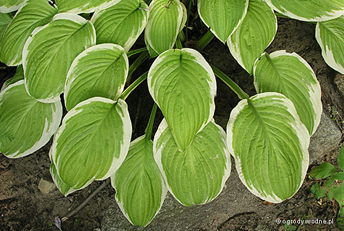 "Hosta ""American Dream"", funkia"