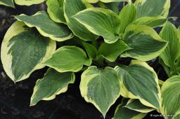 "Hosta ""Angel Feathers"""